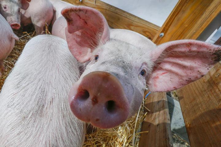 Африканская чума свиней возникла еще водном районе Омской области