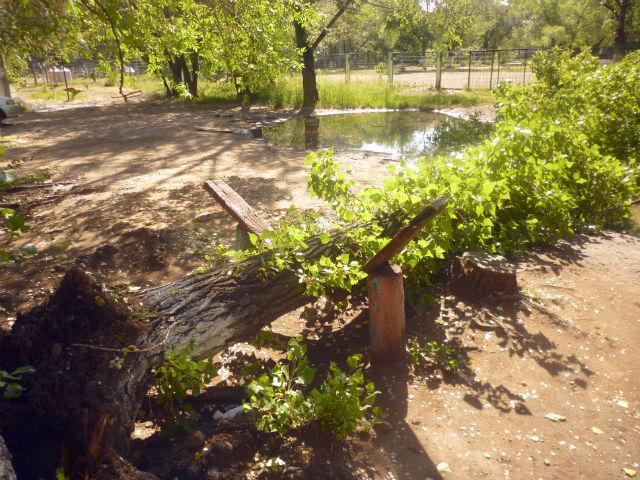 В Черногорске упавшее дерево чудом никого не придавило