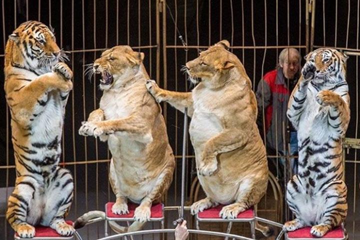 «Булочки пузатые»: толстые львицы вцирке Владивостока рассмешили пользователей Сети