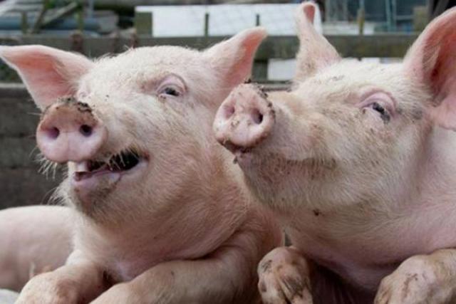 Вколбасах Лыткаринского завода Россельхознадзор нашел следы африканской чумы свиней