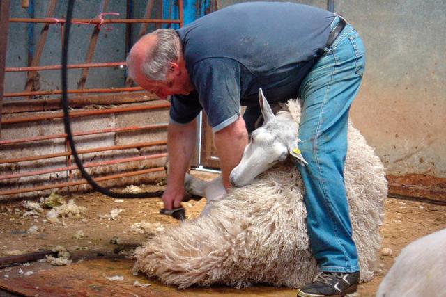 Стрижка овец у соседей поможет Хакасии запастись носками